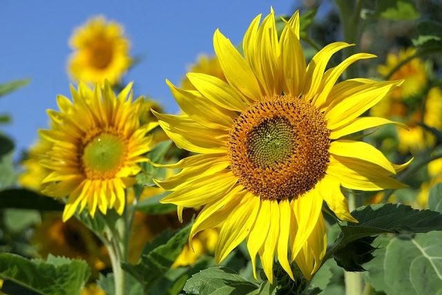 gambar bunga matahari indah