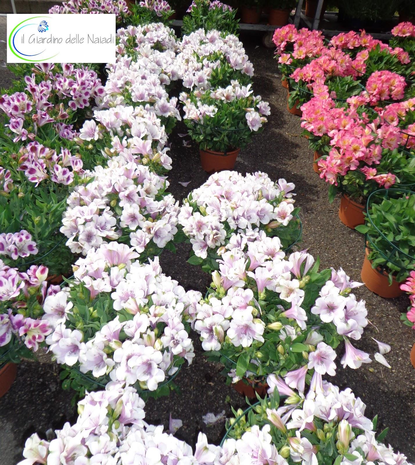 Coltivare Fiori Da Recidere il giardino delle naiadi: alstroemeria, il giglio degli incas