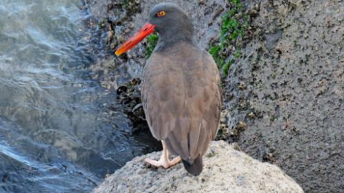 Pilpilén negro (Haematopus ater). Costanera de Puerto Montt.