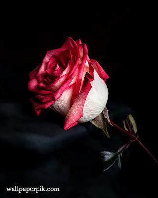 white beautiful rose wallpaper