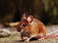 5 Alasan Memilih Fumida untuk Jasa Pembasmi Tikus
