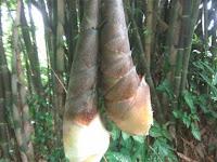 Rebung – Sumber Pangan Kaya Manfaat dari Hutan