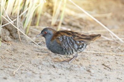 Dot winged Crake