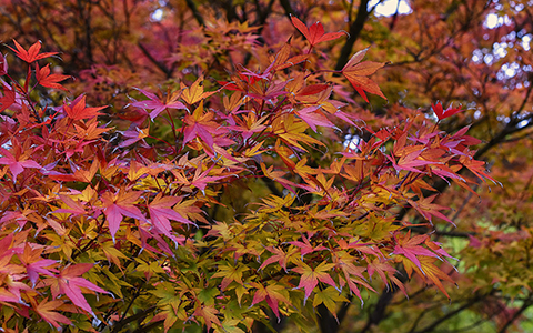 Small trees for tiny yards Japanese maple