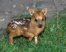World's smallest deer looks same like a  mouse