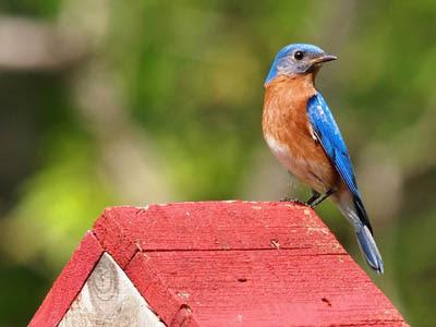 Photo of Eastern Bluebird on bird house