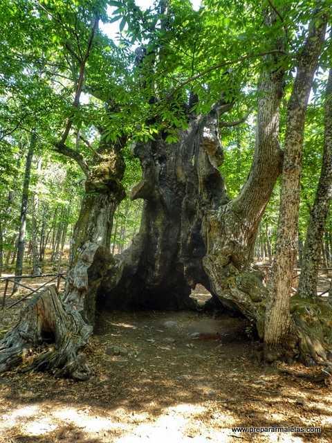 El castaño más antiguo de El Tiemblo