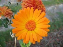 Pot Marigold    (पॉट मेरीगोल्ड )