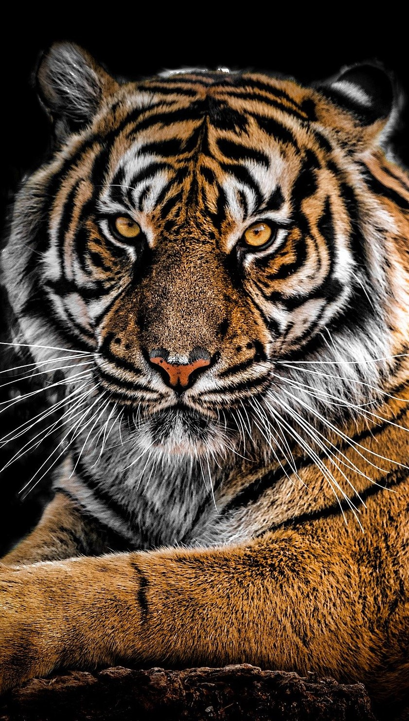The majestic tiger.