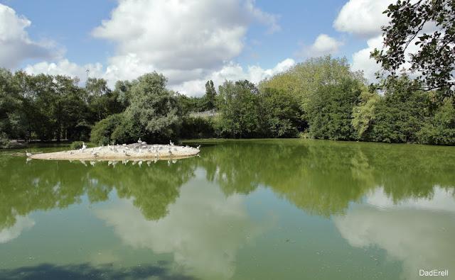 Pélicans frisés, parc des oiseaux, Villars les Dombes