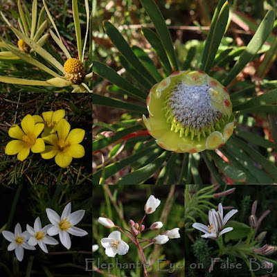 With proteas on Rondebosch Common in August
