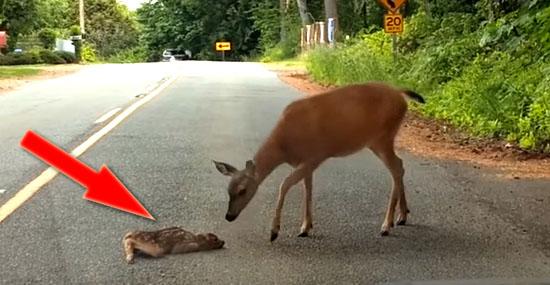 Final feliz: Mamãe corça resgata filhote assustado no meio da estrada