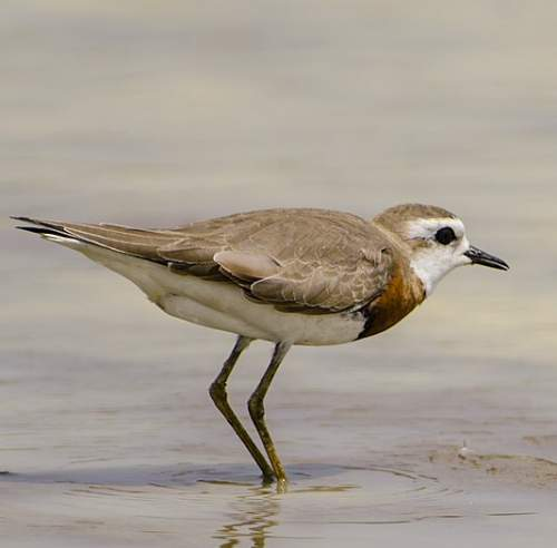 Indian birds - Image of Caspian plover - Charadrius asiaticus