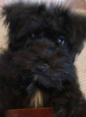 English Bulldog Poodle mix (English Boodle) Temperament, Size, Adoption, Lifespan