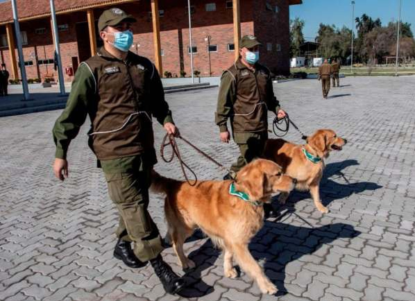 Chile's police train dogs to sniff out COVID-19