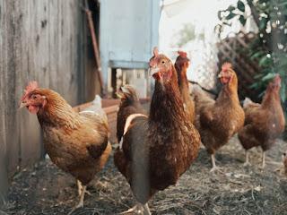Bisnis Ayam Geprek
