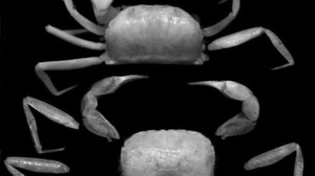 Kepiting spesies baru, Typhlocarcinops robustus