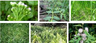 klasifikasi gulma, klasifikasi herbisida, jenis herbisida, pengertian herbisida,