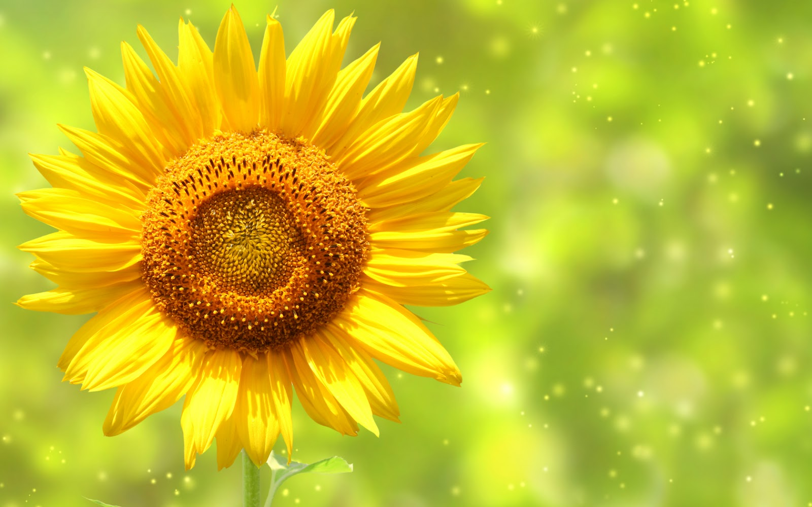 Beautiful Sunflowers Photography HD Wallpapers | HD Nature ...