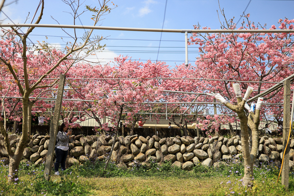 台中新社興社街富士櫻秘境,大排富士櫻盛開吸引大批遊客賞花拍照