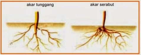 Jelaskan Struktur Morfologi Akar Tunggang Dan Akar Serabut Pada Tumbuhan Berbagai Struktur