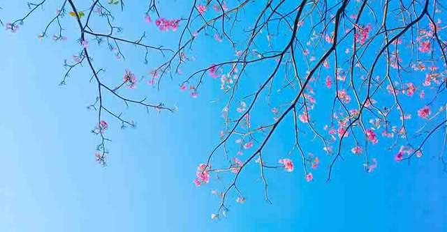 Có một Sài Gòn mộng mơ mùa hoa kèn hồng nở rộ - Ảnh 9