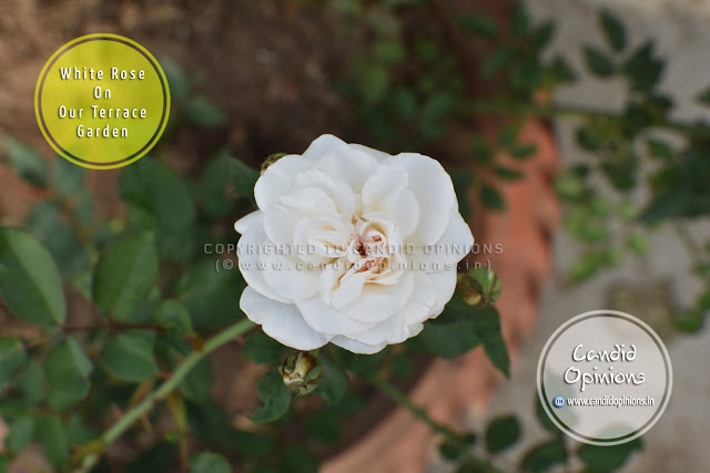 White Rose On Our Terrace Garden