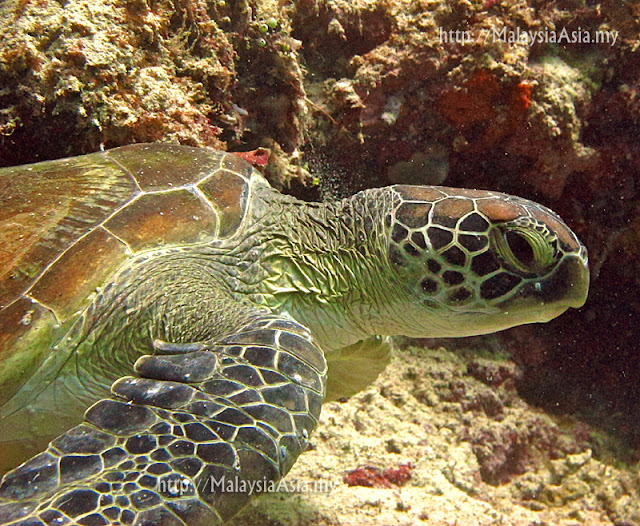 Photo of Turtle at Mabul Island