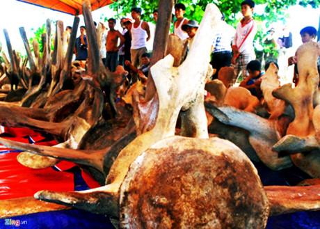 Phục chế hai bộ xương cá voi khổng lồ ở đảo Lý Sơn