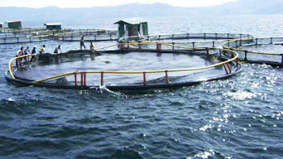 ANEH, PT Aquafarm di Danau Toba 'Impor' Penyelam dari Bali, Pemuda Lokal Meradang