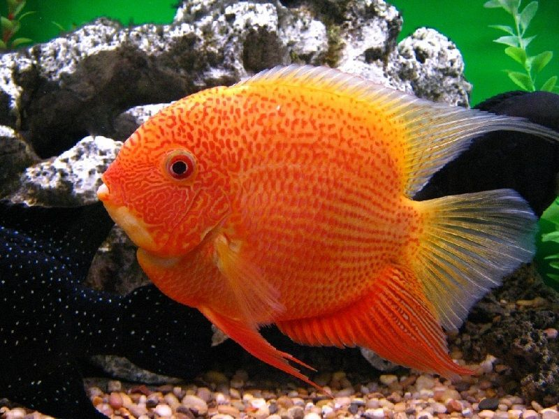 Ikan Severum (Banded Chidhlid)