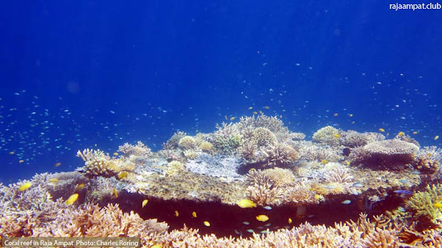 table coral in Mansuar island