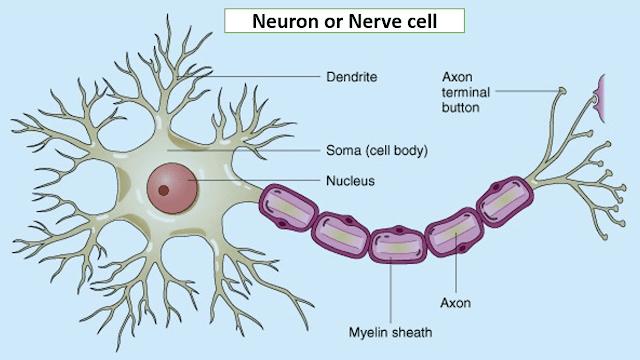 human brain main parts, neurons, nerve cells, human brain statistics, how our brain works, amygdala, neocortex, hypocampus, hippothalamus, what happens when we sleep