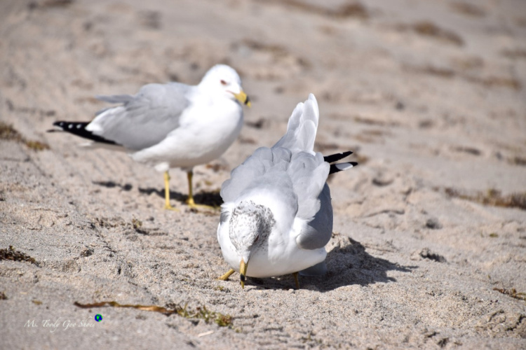 "Meet my Florida ""gullfriends!""  | Ms.Toody Goo Shoes #seagulls #florida"