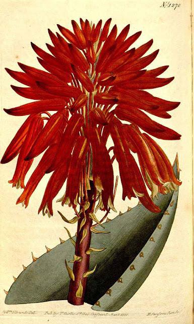 Aloe mitriformis, inaczej Aloe perfoliata - opis, uprawa, pielęgnacja, pochodzenie, historia, nazwa. Jak podlewać, pielęgnować i uprawiać aloesa w domu w doniczce?