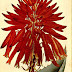 Aloe mitriformis/perfoliata - opis i uprawa