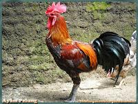 gambar ayam pelung