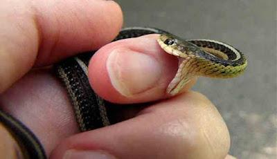 Mimpi Digigit ular