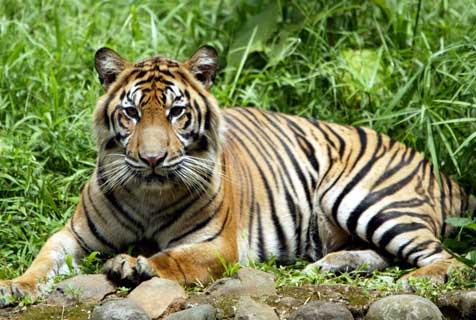 Daniel Farhan vB: Jenis-jenis Macan di Dunia