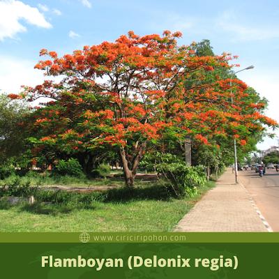 Flamboyan (Delonix regia)