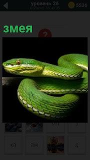 Ярко зеленая змея свернулась клубком и своим длинным телом обвивает ветку дерева, держа прямо свою голову