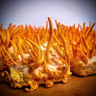Cordyceps mushroom company in Karnataka