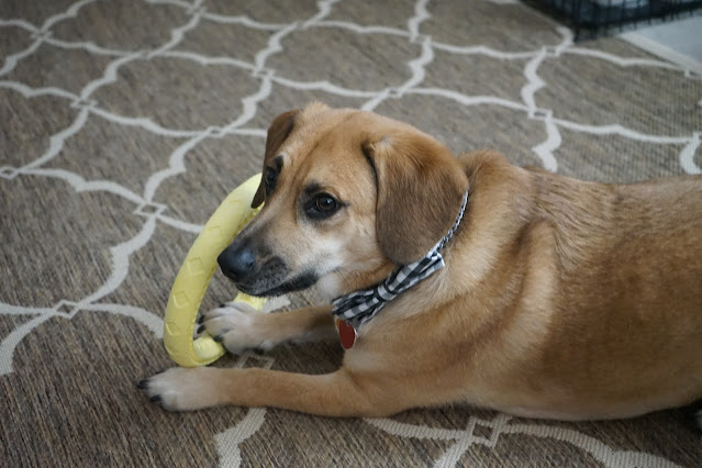 Dog playing with yellow toy