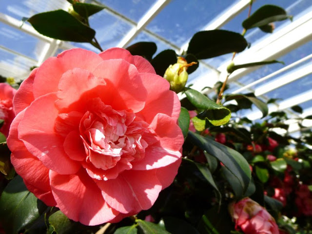 http://bugsandfishes.blogspot.co.uk/2015/04/beautiful-camellias-at-chiswick-house.html