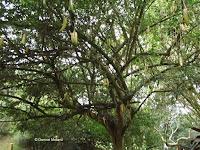 Cuachilote tree with fruit - Ho'omaluhia Botanical Garden, Kaneohe, HI