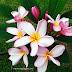 Mekar Bunga Kemboja