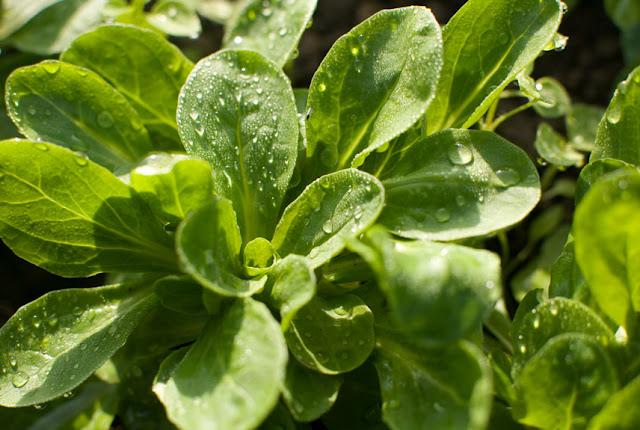 Warum der sensible Nüsslisalat im Winter Saison hat