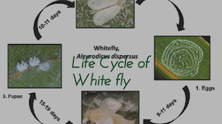Life stages of white fly pest