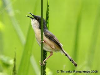 Burung Ciblek - Pemilihan Burung Ciblek Bakalan yang Super - Penangkaran Burung Ciblek