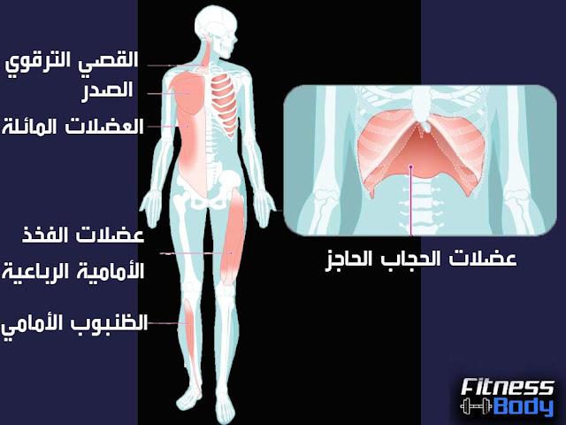 عضلات الجذع